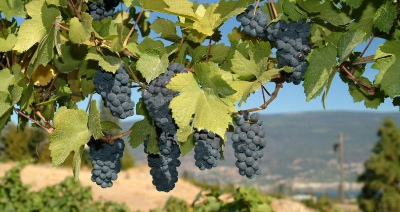 How to Buy an Okanagan Vineyard